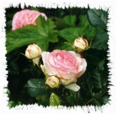 half verwelkte bloem